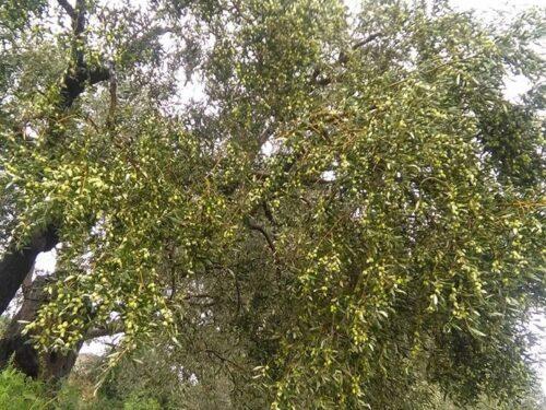 olio extravergine d'oliva della Locride